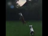 Собаки играют с шариком
