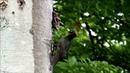Пение птиц. Дятел чёрный (Dryocopus martius).