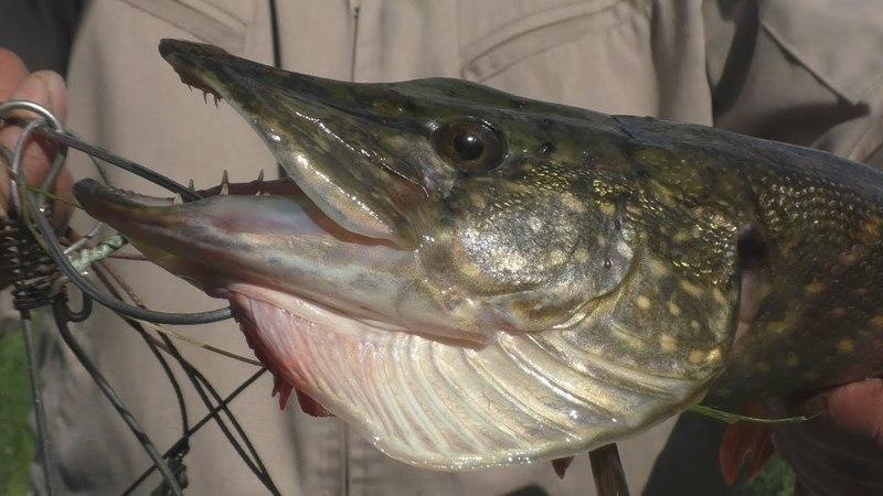 Рыбалка .Первые щуки этого сезона ,эмоций хватает. My fishing