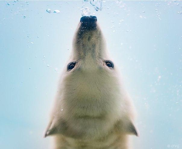 Белые медведи под водой
