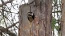 Семейная пара Большого пёстрого дятла обустраивают своё гнездо для потомства