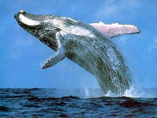 Язык синего кита весит больше, чем слон