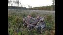 Охота на лося на гону . Татарстан.