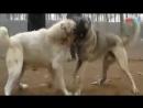 Кангал vs Волкодав