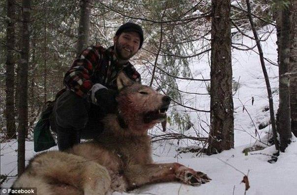 Волчьи повадки – что должен знать о них охотник. Волк — животное с высокоразвитым интеллектом и мощной психикой. Именно благодаря этому зверь так успешно выживает при всем многообразии изощренных способов борьбы с ним. Во всех странах, где была поставлена задача уничтожить волков поголовно, планы были провалены, а волки прекрасно живут и множатся по сей день. Численность их близится к нулю лишь в самых густонаселенных странах, имеющих малую территорию. Однако это выбор самих волков,…