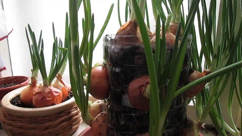 Юлия Колар и я , мы посадили лук и чеснок.. . . Yulia Kolar i ja posadili smo luk i češnjak . .