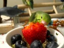 Baby Parrotlets eat BIG strawberry