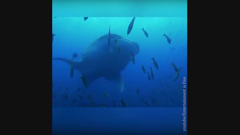 Китовая акула на УЗИ | АКУЛА