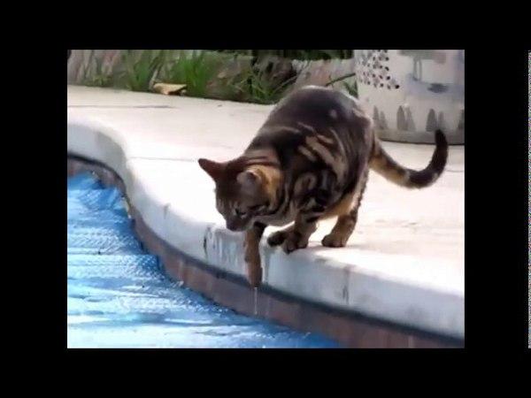 Brngal Cat Walk in Water Must Watch Çok komik, Turkey,(kanalbaligi)