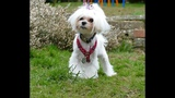 Olive - 6 month old Maltese puppy -2 Weeks Residential Dog Training, plus 2 week top up