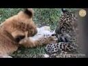 Лев, ягуар и страусиное перо Неизданное. Тайган. Крым | Lion, jaguar and ostrich feather. Taigan