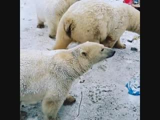 Массовое нашествие белых медведей на Новой Земле
