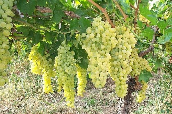 Как ускорить созревание винограда Хотите получить богатый урожай винограда и как можно раньше Но не знаете, что для этого необходимо Тогда эта статья для вас! Мы подскажем, как правильно