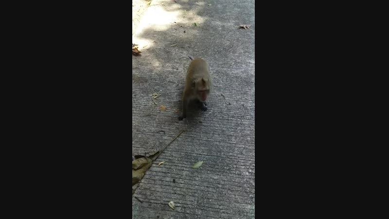 злая обезьянка