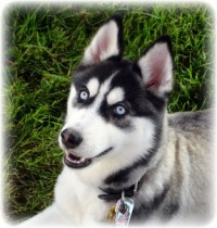 "Вышивка крестом.  Схема вышивки  ""Хаски на трава "".  182x190 крестов * 44 цветов * Теги: хаски. собаки."