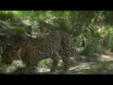 Wild snow leopards spotted in NW China nature reserve | CCTV English