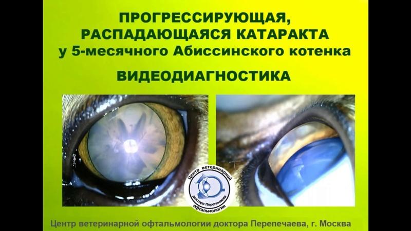 Прогрессирующая распадающаяся катаракта у 5-месячного абиссинского котенка