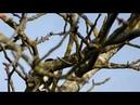 Пёстрые дятлы (нем. Buntspechte) (анг. Spotted woodpeckers)