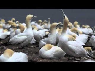 Northern Gannets / Северная олуша / Morus bassanus
