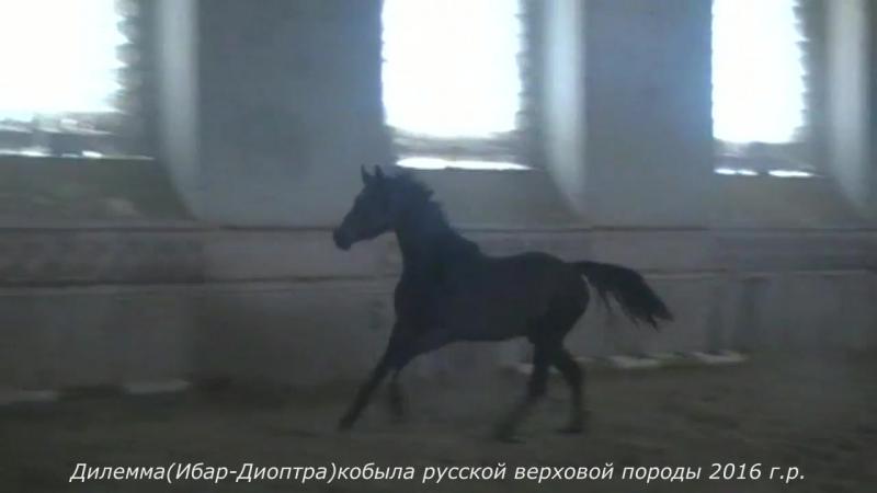 Дилемма Ибар Диоптра кобыла русской верховой породы 2016 г р