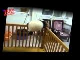 Малыш панды пытается сбежать  Милое видео!   Panda cub tries to escape  Nice video