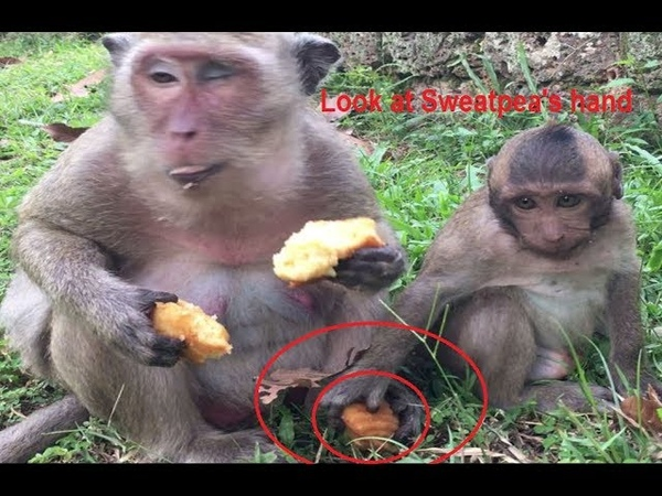 Spoiled baby monkey (Sweatpea) was hit by mother when he tried to steal his mum's foods