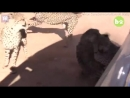Female cheetah fights off four males during mating season