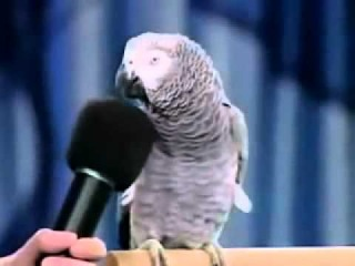 Einstein the famous talking African Grey Parrot!