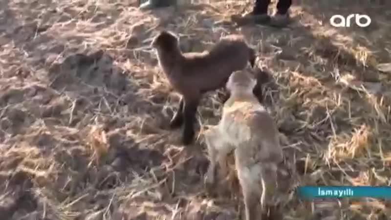 В Азербайджане родился шестиногий ягненок. Азербайджан Azerbaijan Azerbaycan БАКУ BAKU BAKI Карабах 2019 Армения Ереван HD 18