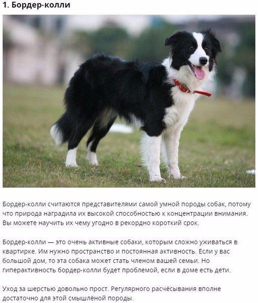Топ-10 самых умных пород собак, которые легко поддаются дрессировке