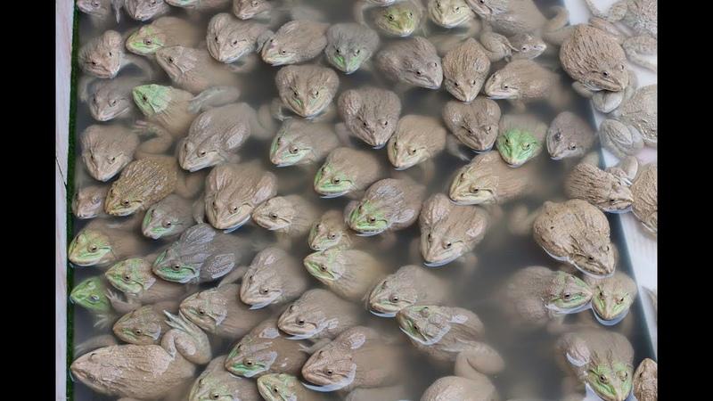 Последствия гипноза жаб. Что будет если загипнотизировать лягушку.