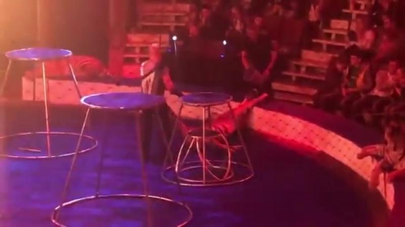 Тигр упал в обморок с судорогами на представлении труппы Багдасаровых в Магнитогорском цирк Ateo Video
