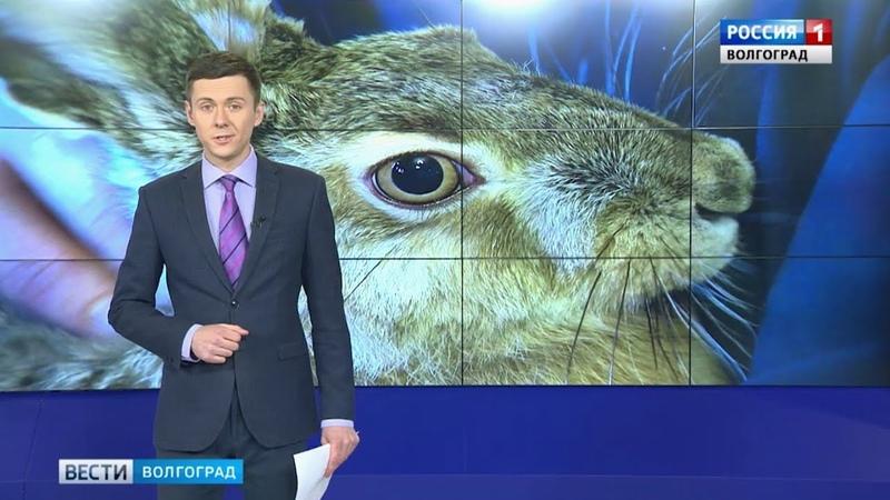 Заяц-русак впервые вышел на прогулку в зоосаду Свято-Духова монастыря Волгограда.