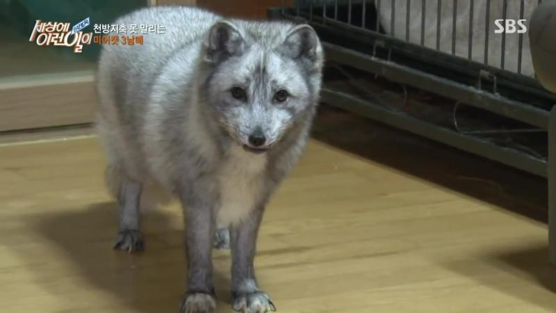 Pet Arctic Fox 인사하는 북극여우 샐리