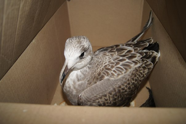 Чем кормить чайку в домашних условиях