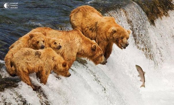 Даже медведям ниже не хочется )