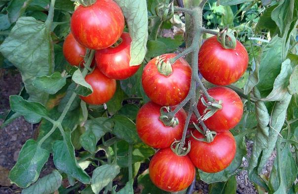 Топ-6 лучших способов выращивания рассады помидоров. Варианты посадки и полезные советы Помидоры появляются на наших столах летом, и радуют своим сочным вкусом и неповторимым ароматом во