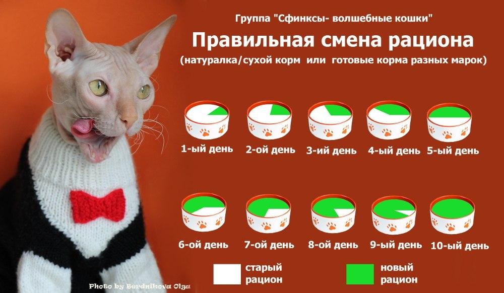 питание кошек сфинксов