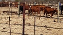 Australian cattle dog at work