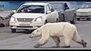 В Норильске развернулась операция по спасению истощённого белого медведя, который вышел к людям