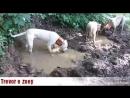 Охота на кабана с аргентинскими догами