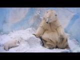 Белая медведица со своим новорожденным детёнышем