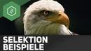 Stabilisierende, transformierende, disruptive Selektion - Evolutionsfaktoren 3