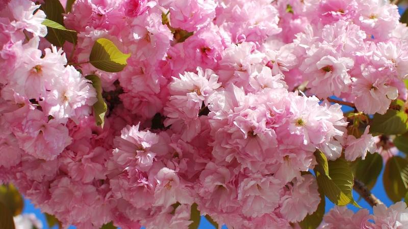 Картинка весна. Sakura, цветущая ветка, цветы, ветка, цветение, флора, весна, Cherry Blossoms.