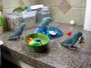 Parrotlets Playing with Toys
