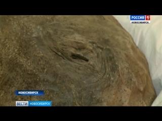 В Новосибирск привезли мумию мамонтёнка Любы