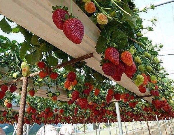Так выращивают клубнику