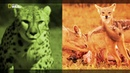 Nat Geo Wild: Заклятые враги: кошки против собак (1080р)