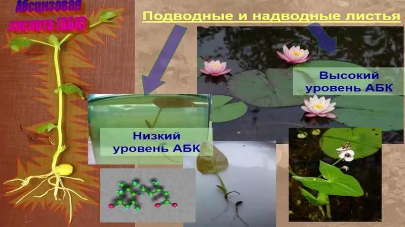 Гормональная система растений (Чуб В. В.) часть 2