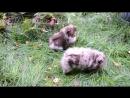 Два мальчика шоколадно-мраморного окраса возраст 2,5 мес .